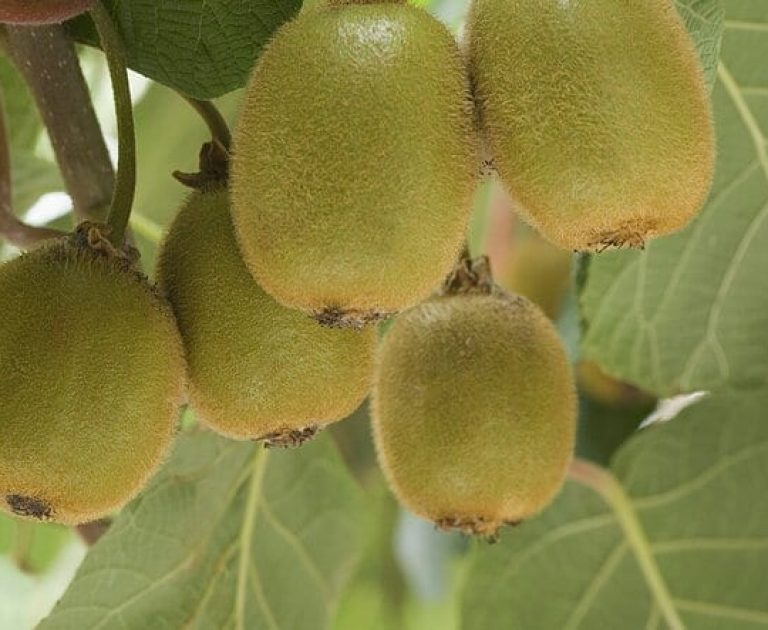 Kiwi Fruit on Tree