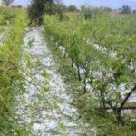 Επανάκαμψη των καλλιεργειών σε ζημιά από χαλάζι, ανεμοστρόβιλο κλπ