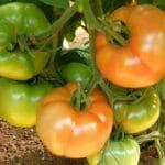 Επίδραση του Albit στα ποιοτικά χαρακτηριστικά των φρούτων της τομάτας