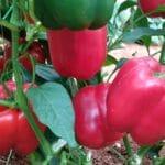 Το ALBIT στην βελτίωση της ποιότητας (αύξηση βιταμινών, μείωση νιτρικών κλπ)