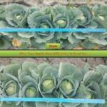 Η επίδραση του Albit στη καλλιέργεια του λάχανου