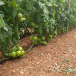 Το ALBIT σε καλλιέργειες κηπευτικών .